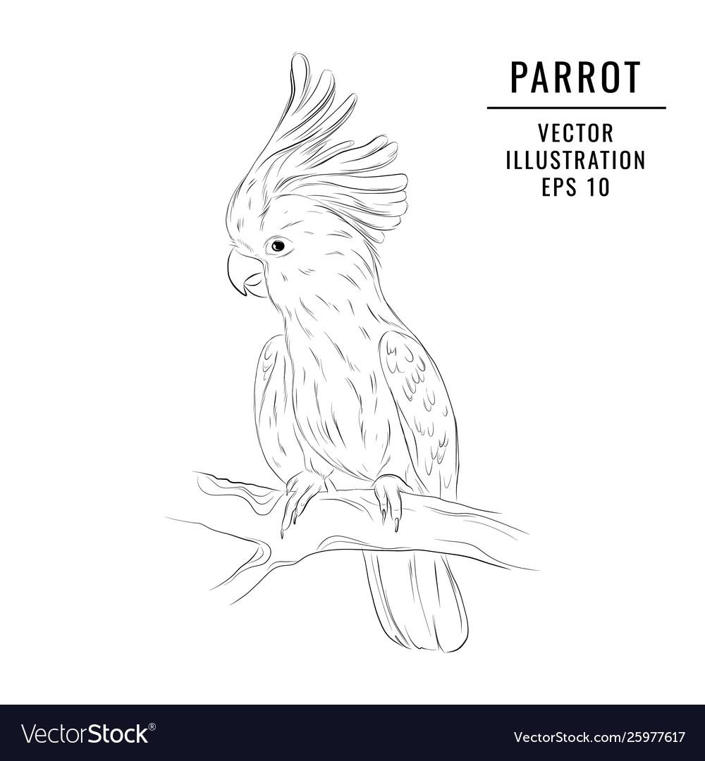 Jungle Parrot Sketch Hand Drawn Wildlife Bird Vector Image