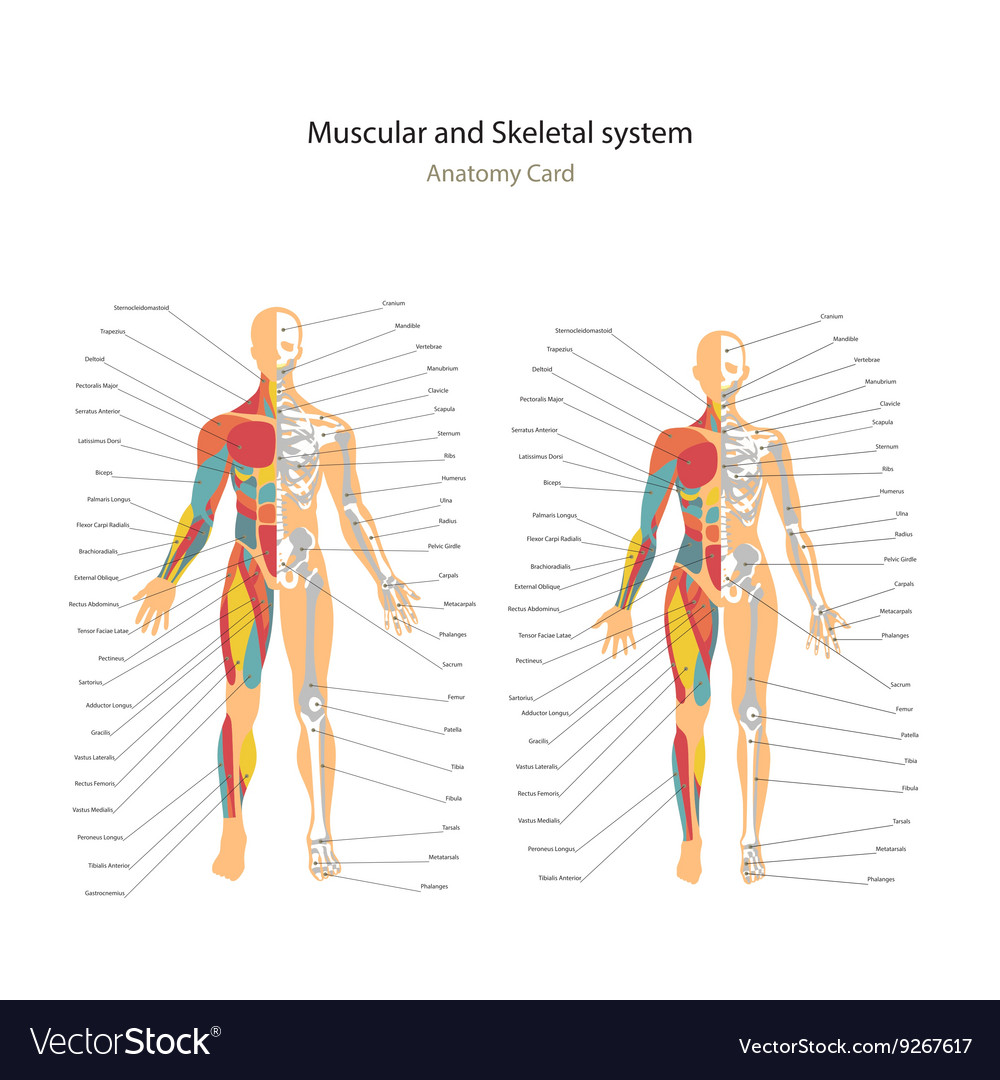 Male And Female Muscle And Bony System Charts With