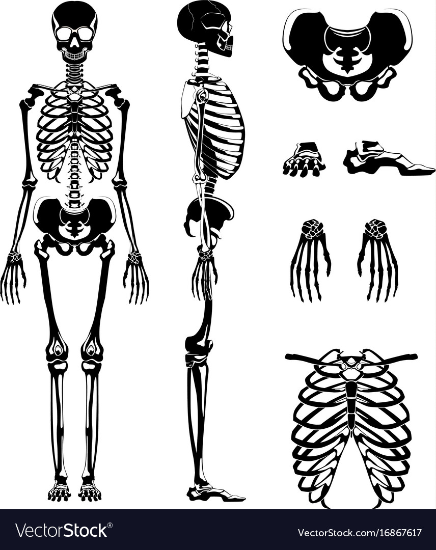 Silhouette Of Human Skeleton Anatomy Royalty Free Vector