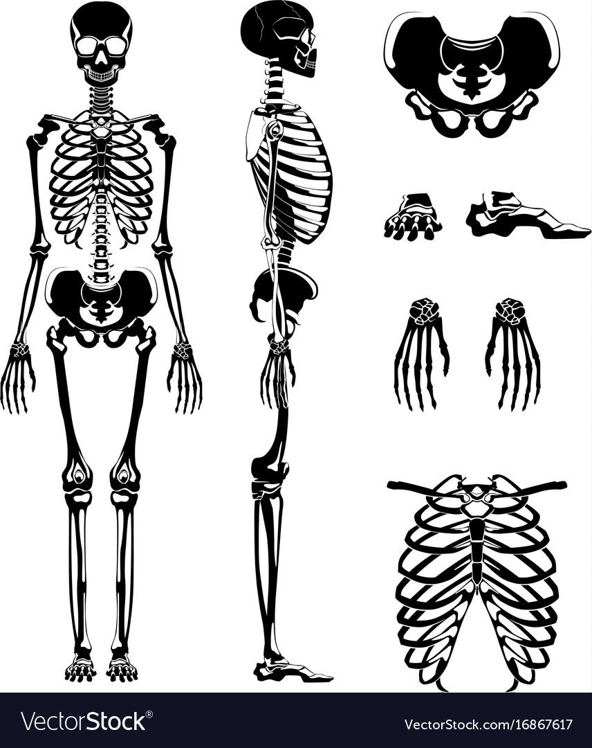 Silhouette Of Human Skeleton Anatomy Royalty Free Vector