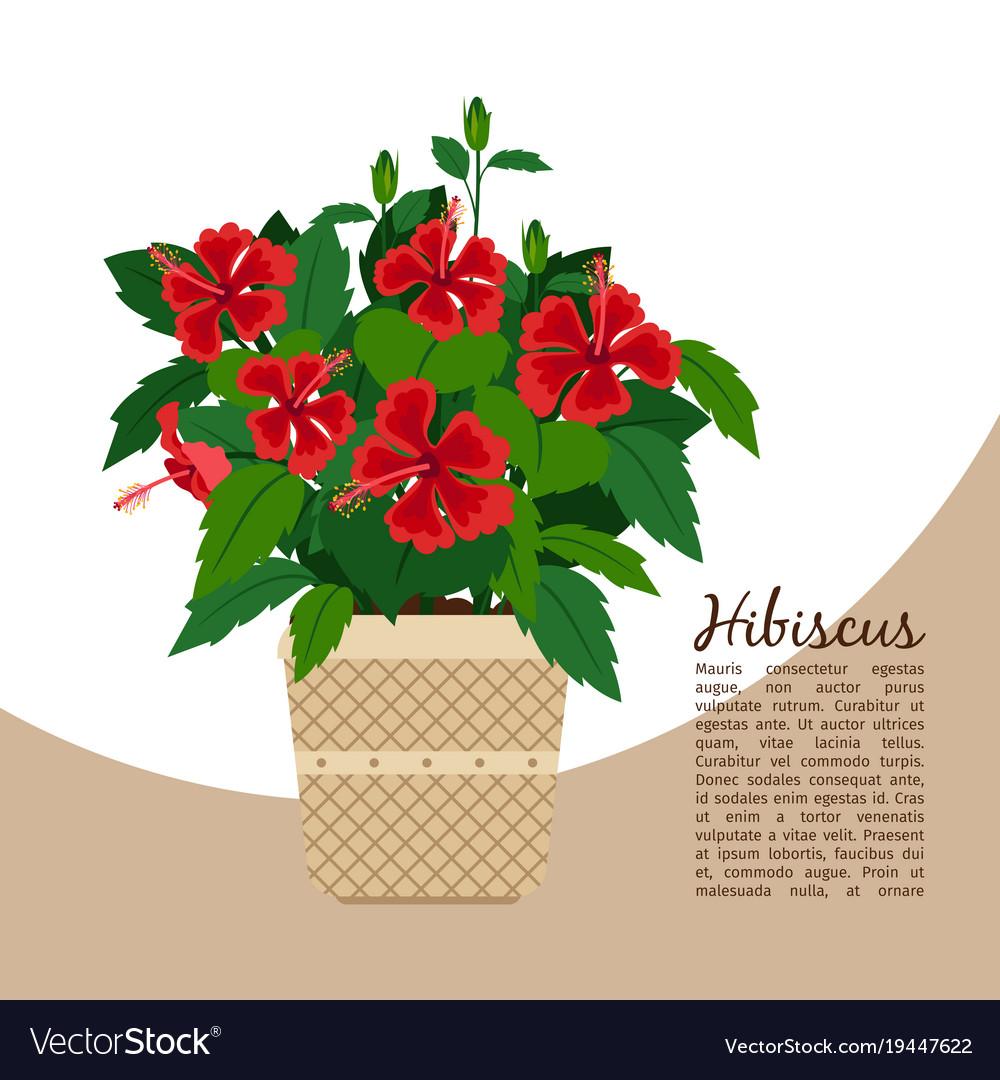 Hibiscus plant in pot banner vector image