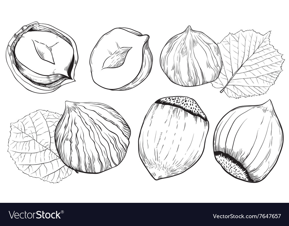 Hazelnut On White Background Isolated Nuts Vector Image On Vectorstock