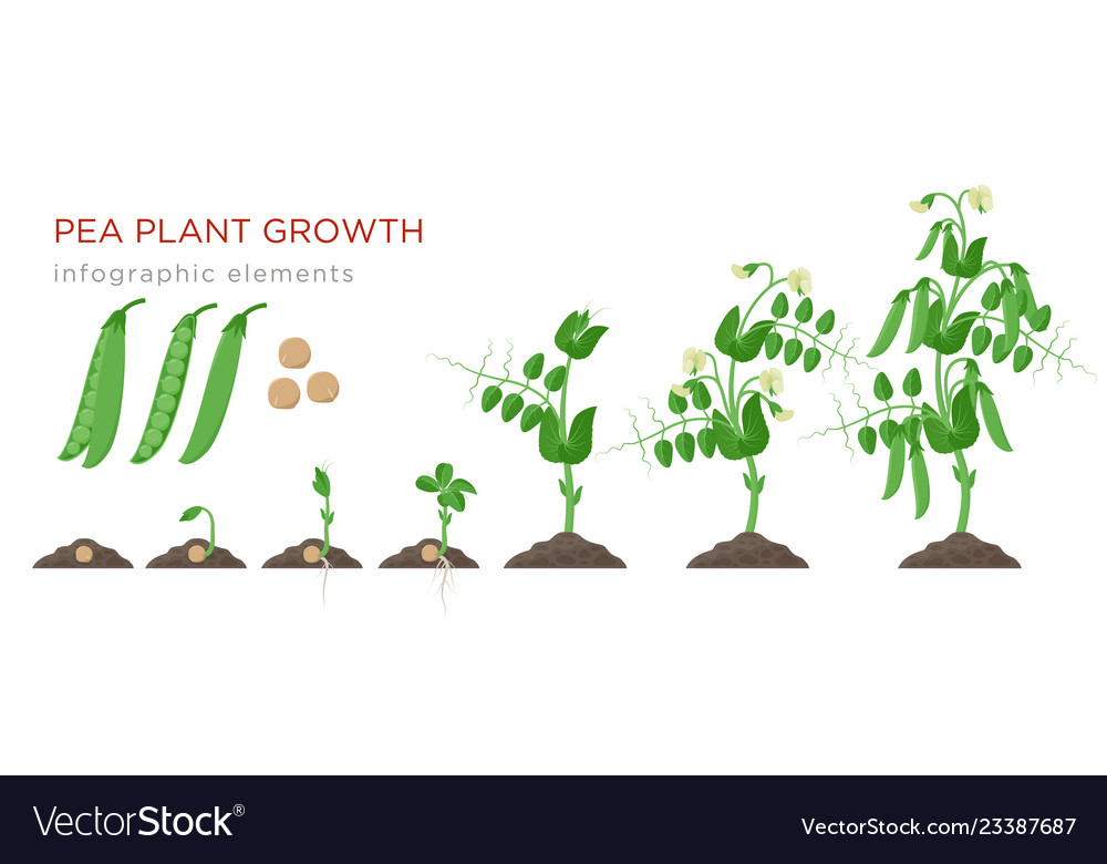 Pea plant growth stages infographic elements in