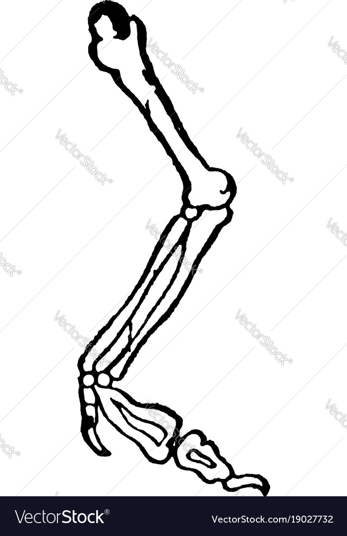 Bones Of Arm Vintage Royalty Free Vector Image
