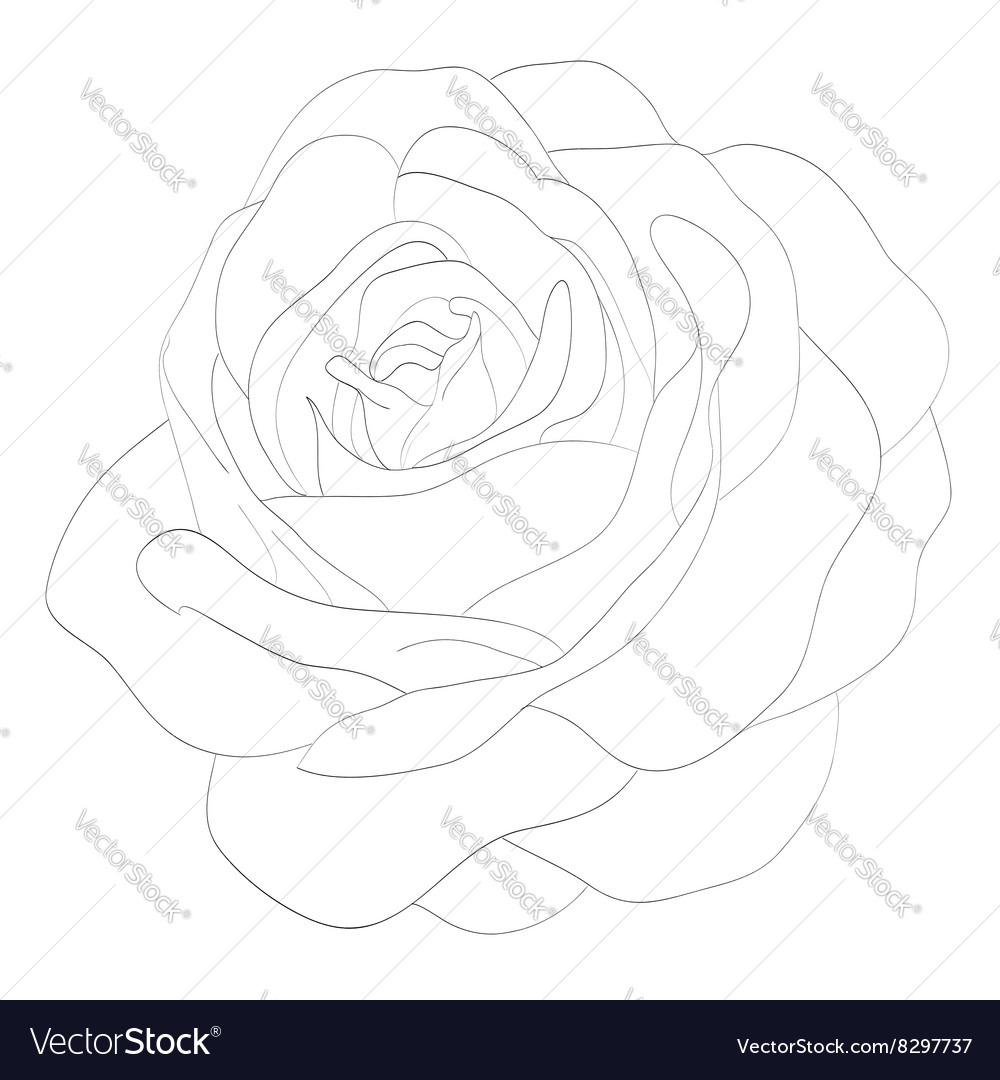 Black and white rose isolated on white background