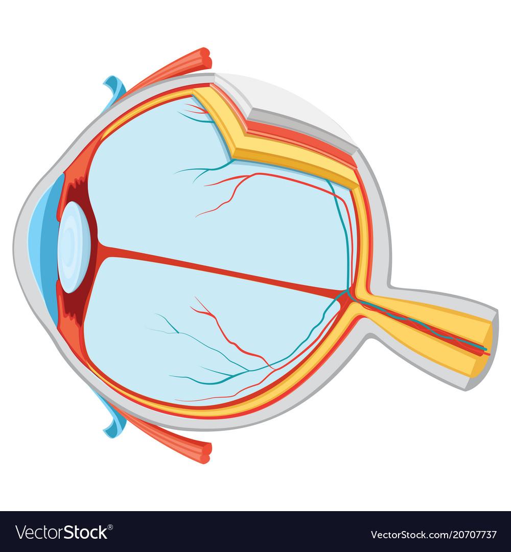 Eye Anatomy Royalty Free Vector Image Vectorstock