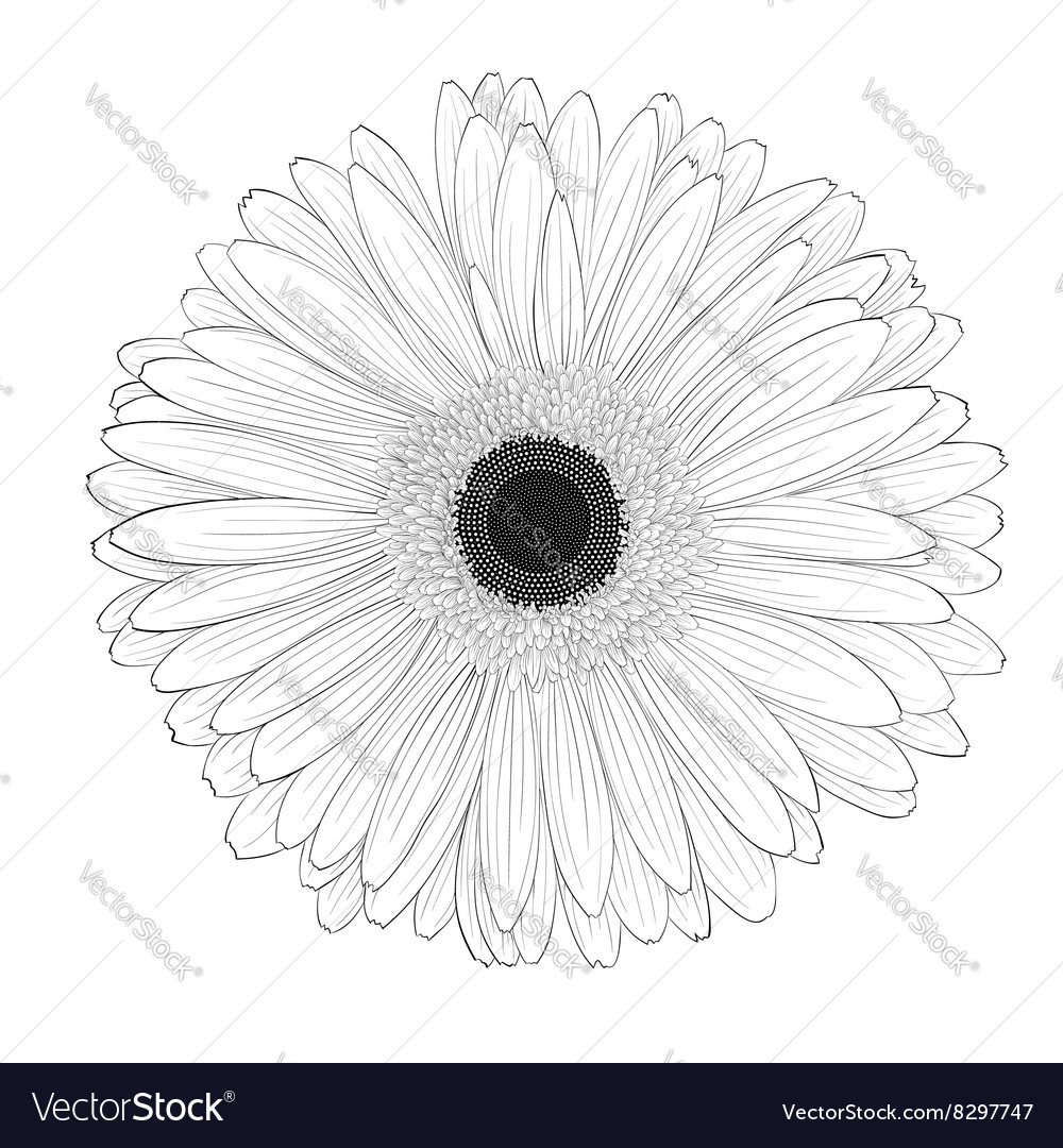 Black And White Gerbera Flower Isolated Royalty Free Vector