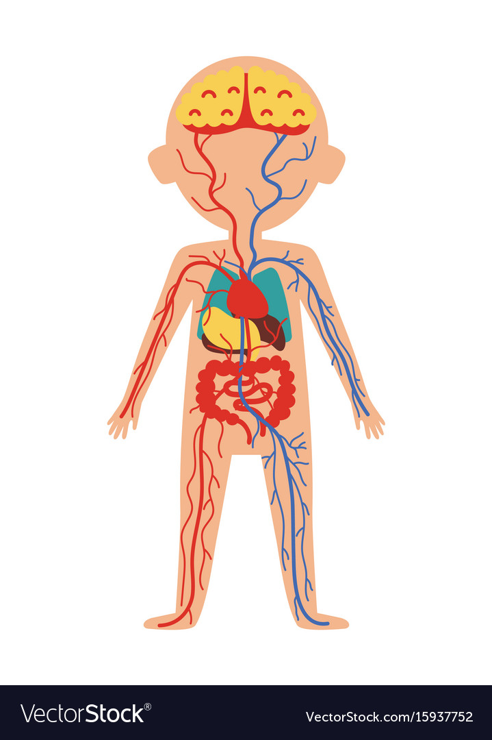 Boy body anatomy with internal organs Royalty Free Vector