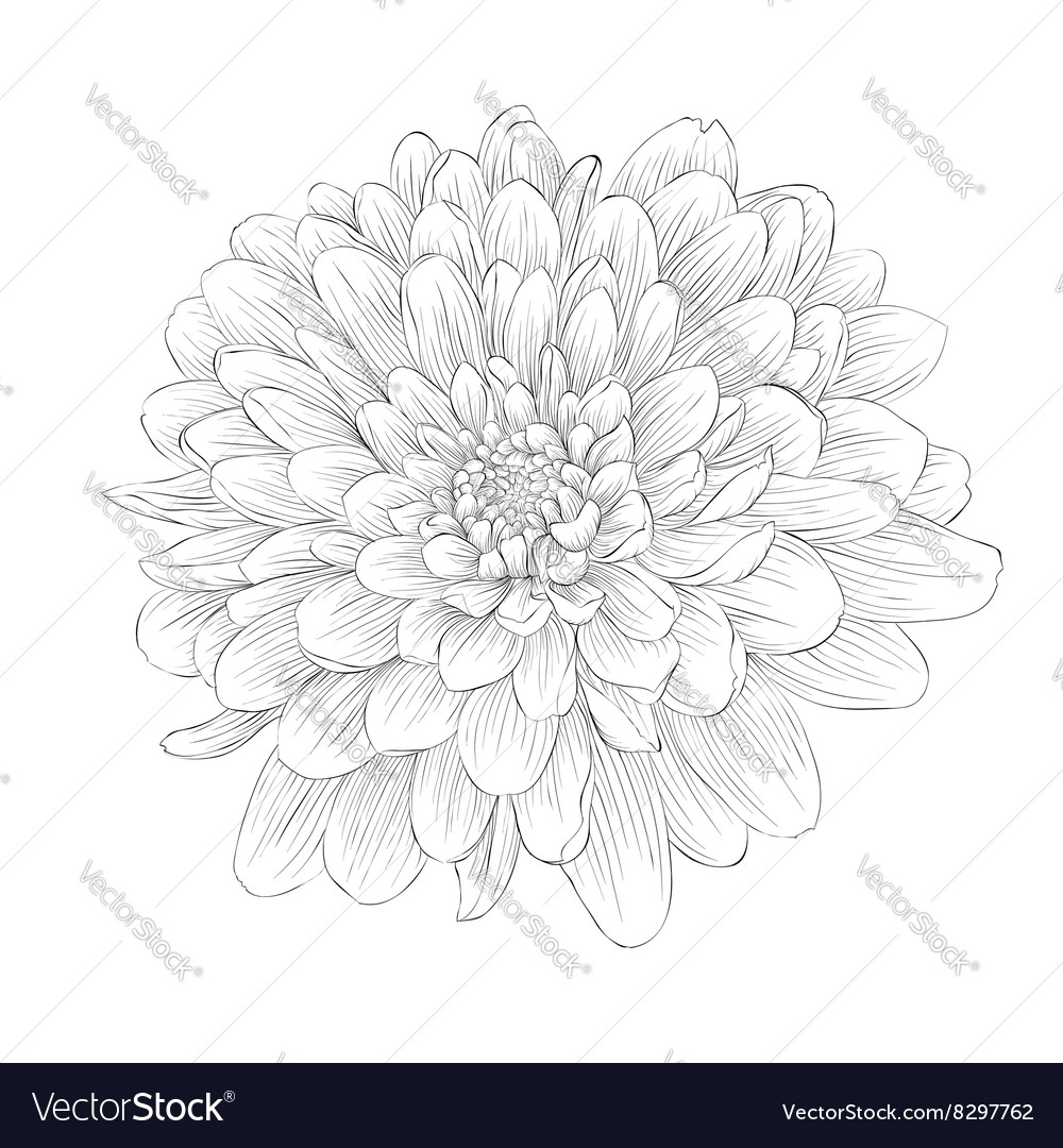 Black and white dahlia flower isolated on white vector image izmirmasajfo