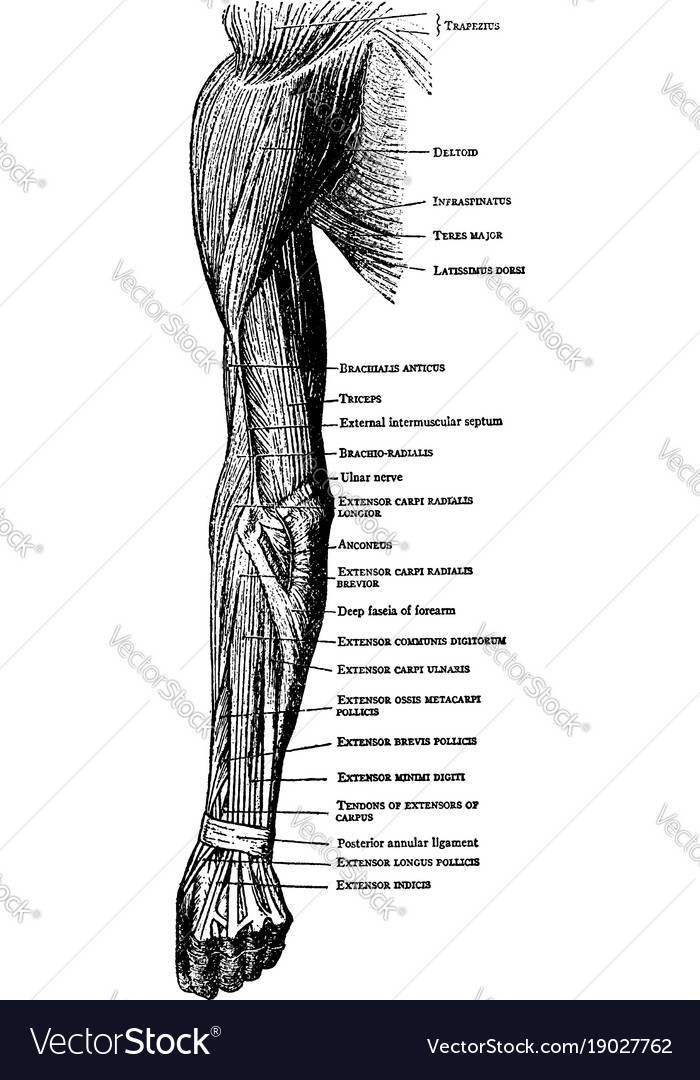Muscles on the back of the arm forearm and hand Vector Image