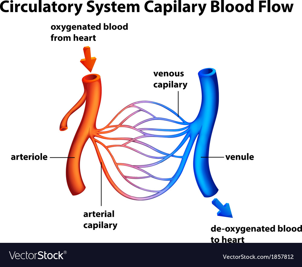 Circulatory System Capilary Blood Flow Vector Image