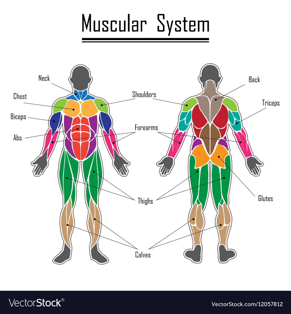 Human Muscular System Royalty Free Vector Image