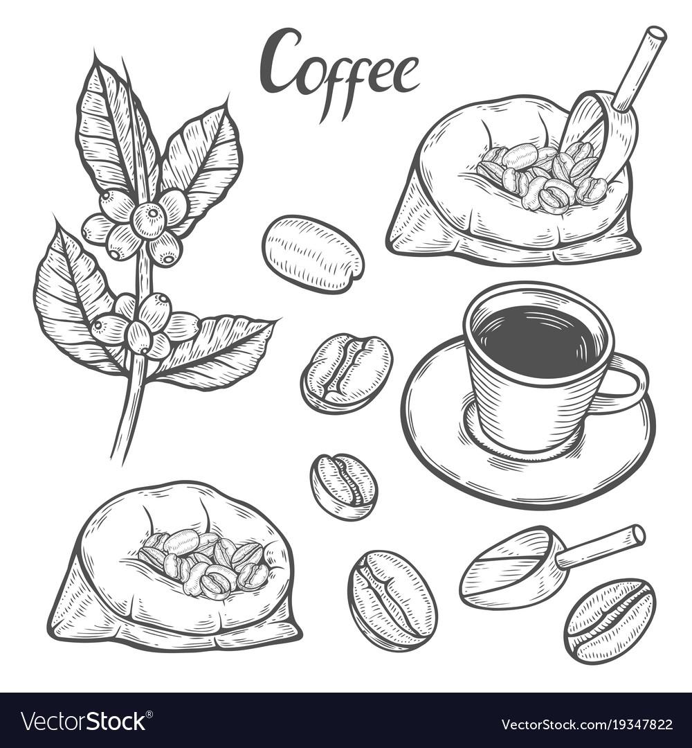 Coffee Plant Branch Royalty Free Vector Image Vectorstock