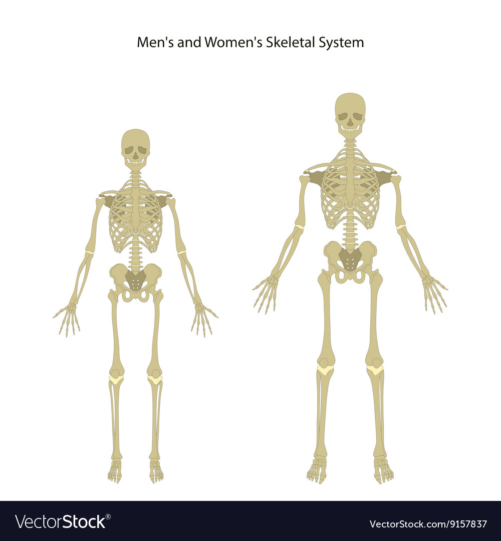 Male and female skeleton Front view Royalty Free Vector