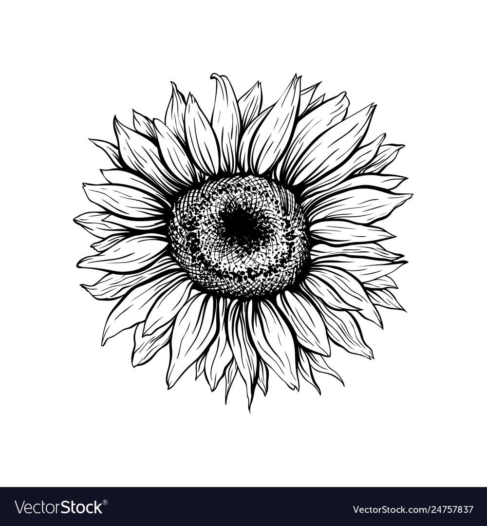 Sun Flower Drawing Simple