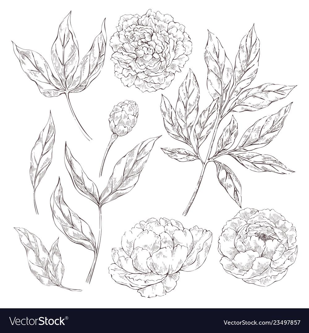 Peony flowers elements