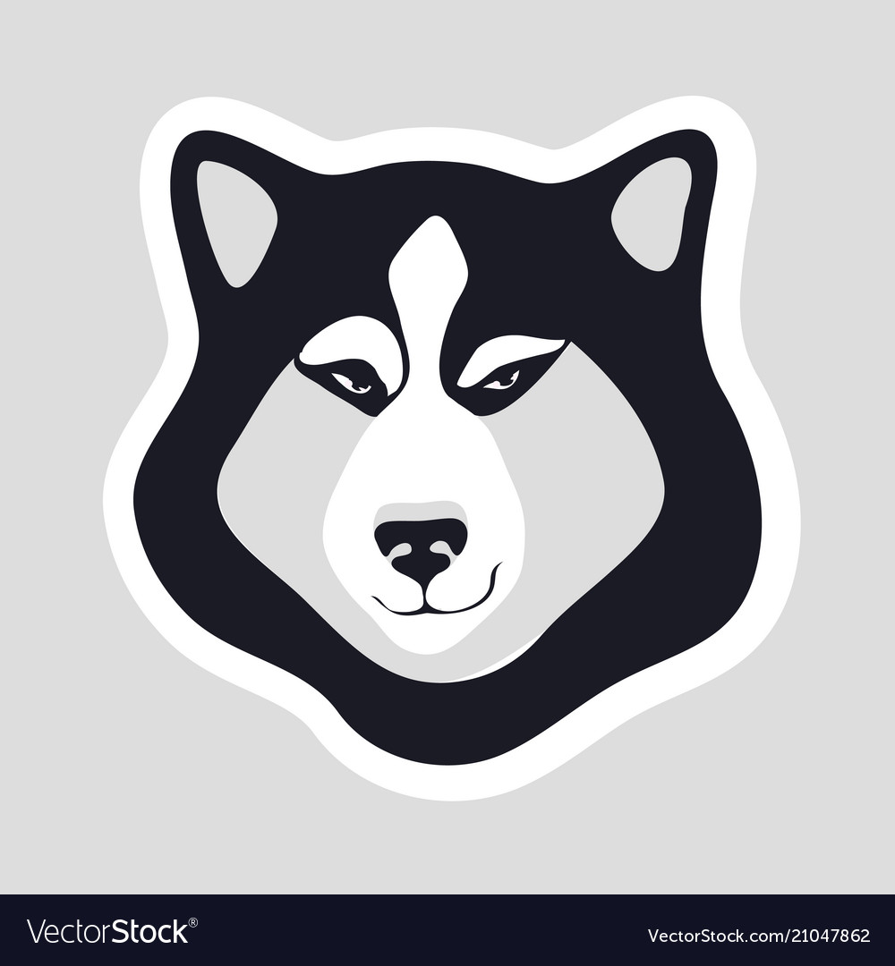 Siberian husky on gray background flirtatious gaze