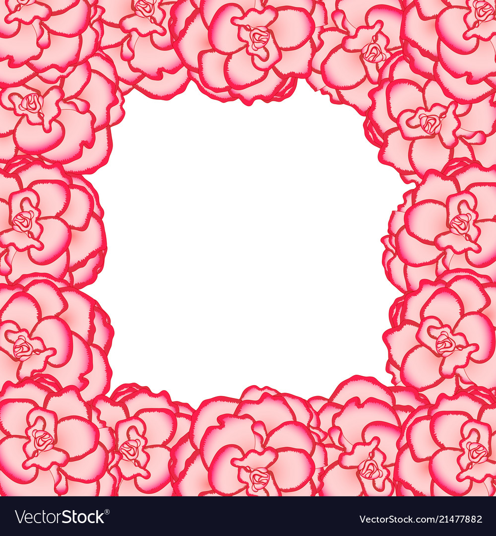 Pink begonia flower picotee first love border