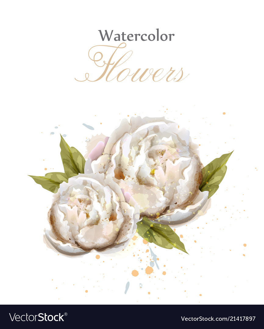 Watercolor White Peonies Isolated Royalty Free Vector Image