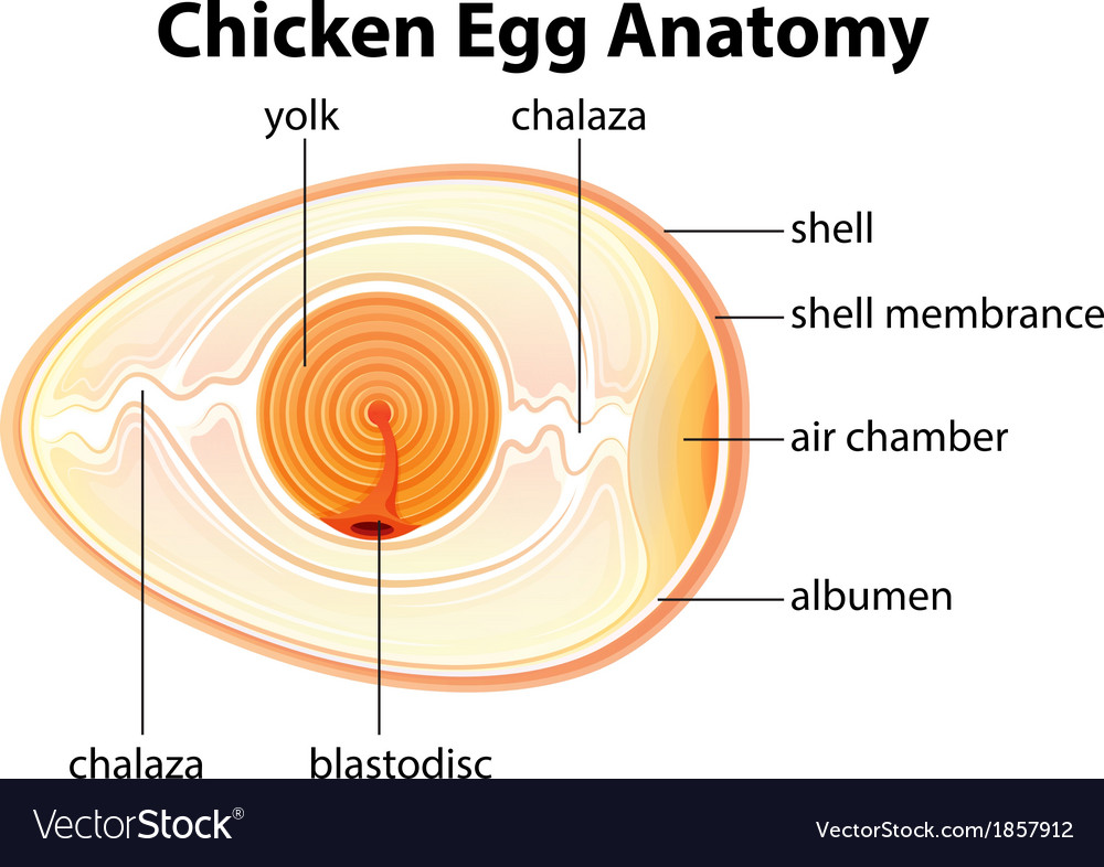 Chicken Egg Anatomy Royalty Free Vector Image - VectorStock