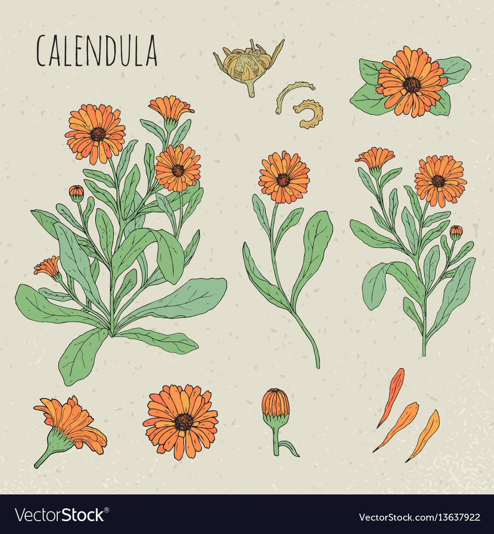 Calendula medical botanical isolated