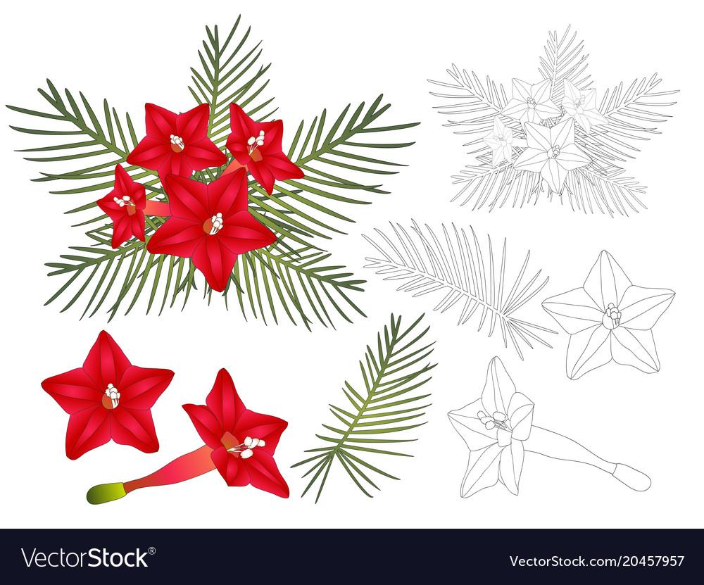 Ipomoea quamoclit - cypress vine flower