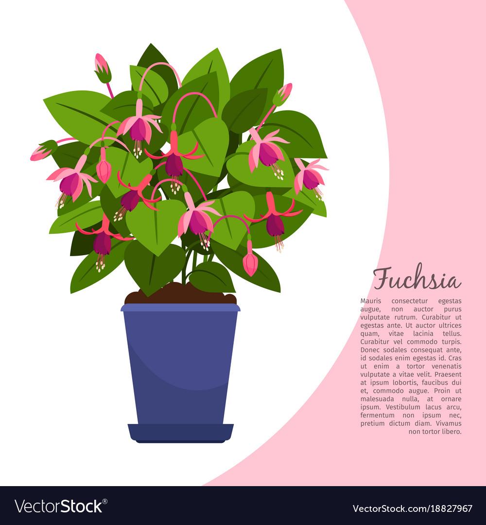 Fuchsia plant in pot banner