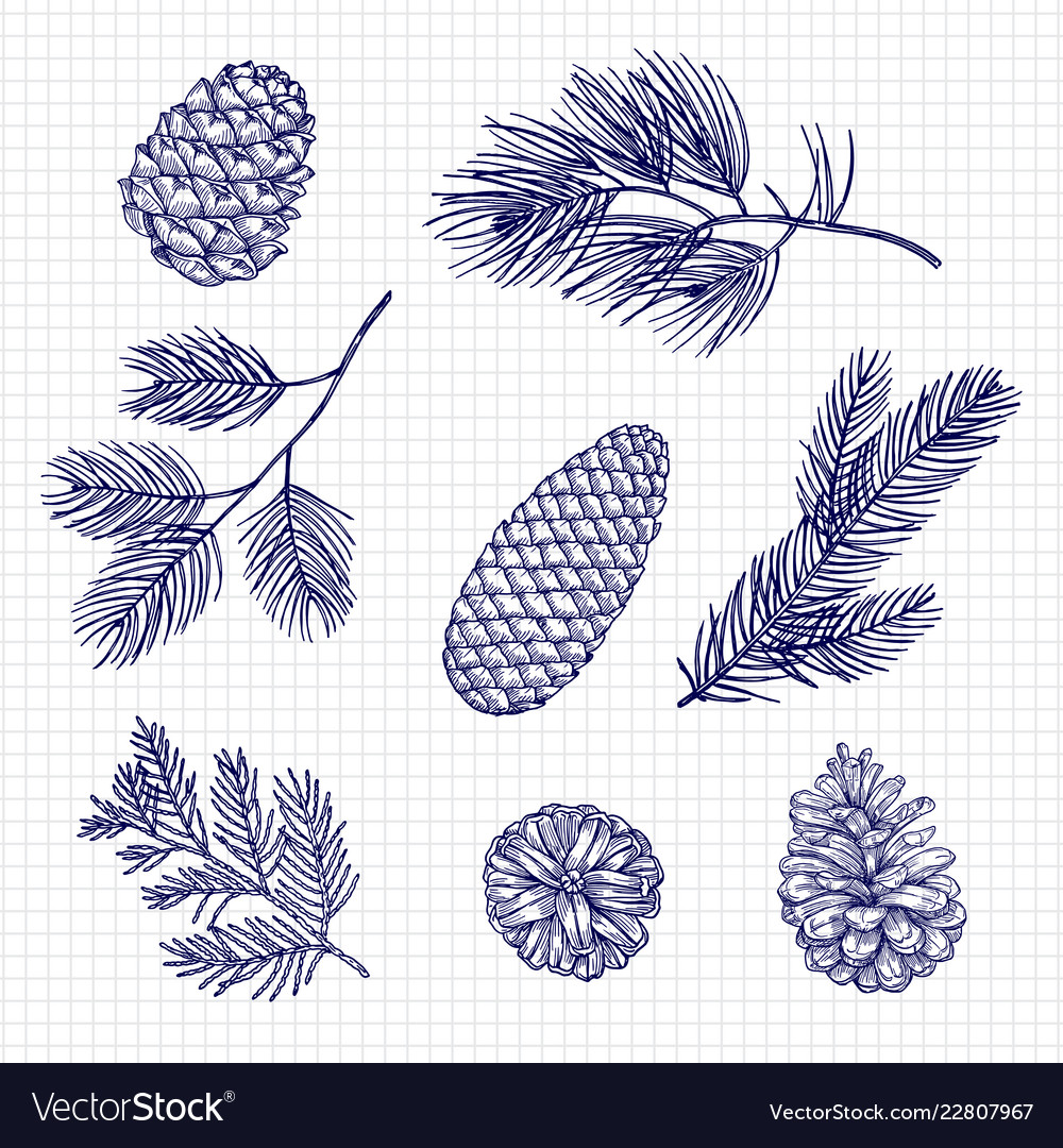 Hand sketched fir tree branches and cones