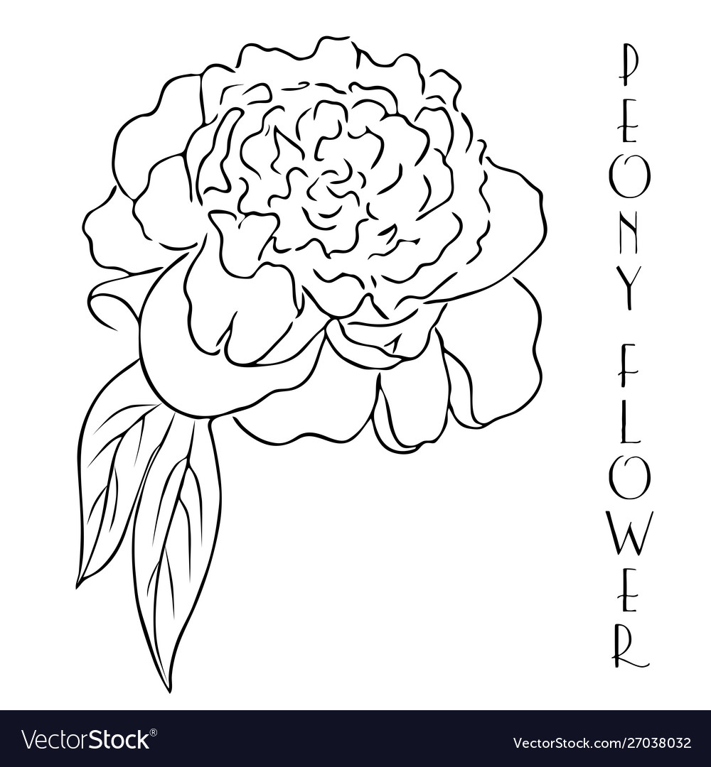 Peony Line Drawing Hand Drawn Outline Peony Flower