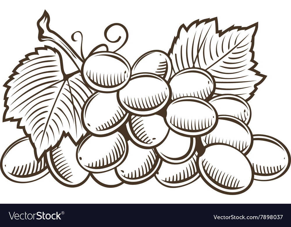 Grapes in vintage style Line art vector image
