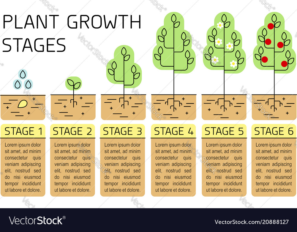 Tree growth stages infographics