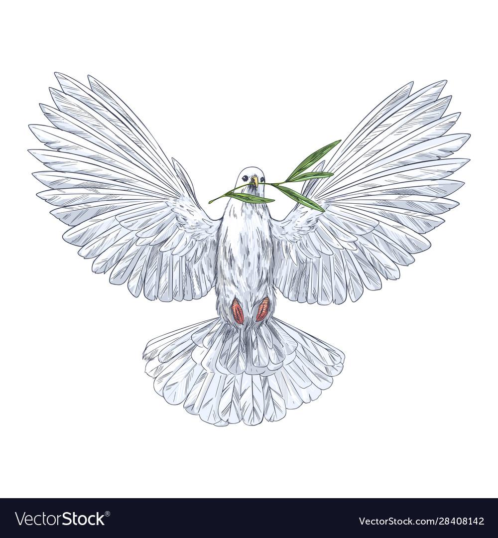 White dove holding olive branch in his beak