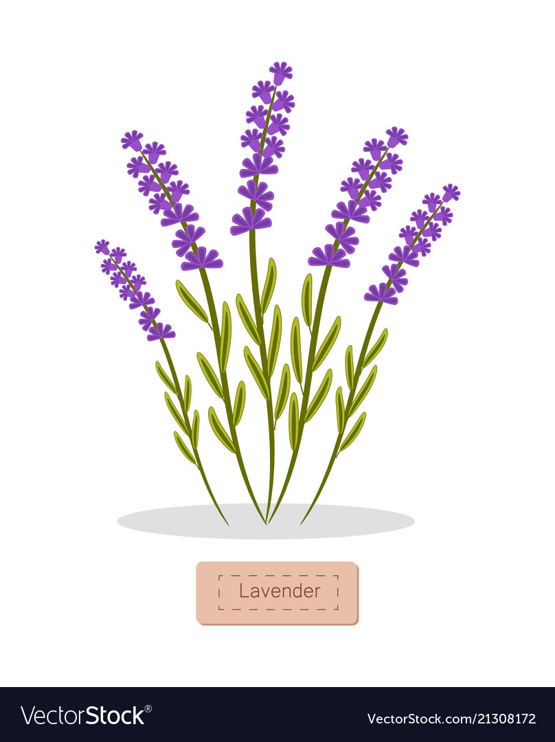 Lavender herbs collection