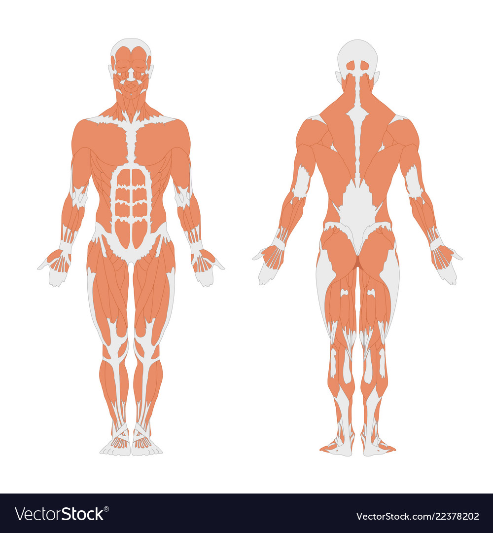 The Human Muscular System Royalty Free Vector Image