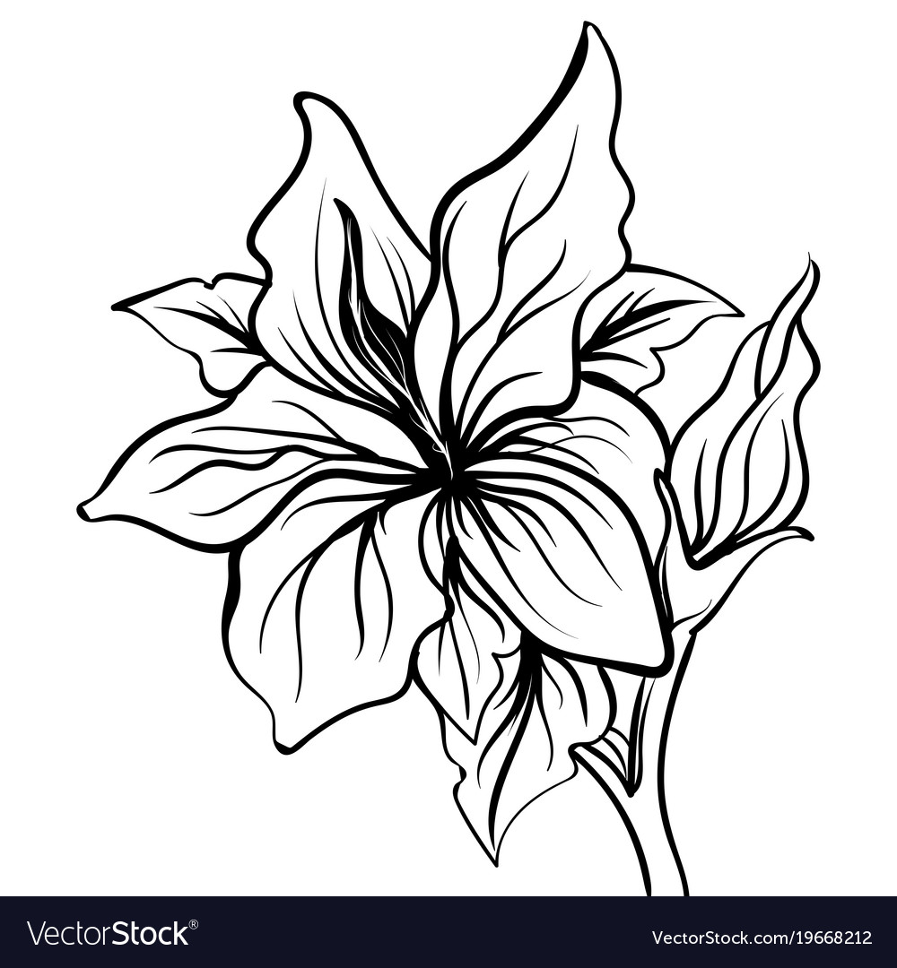 Lily sketch flower lily flower hand drawing vector image izmirmasajfo