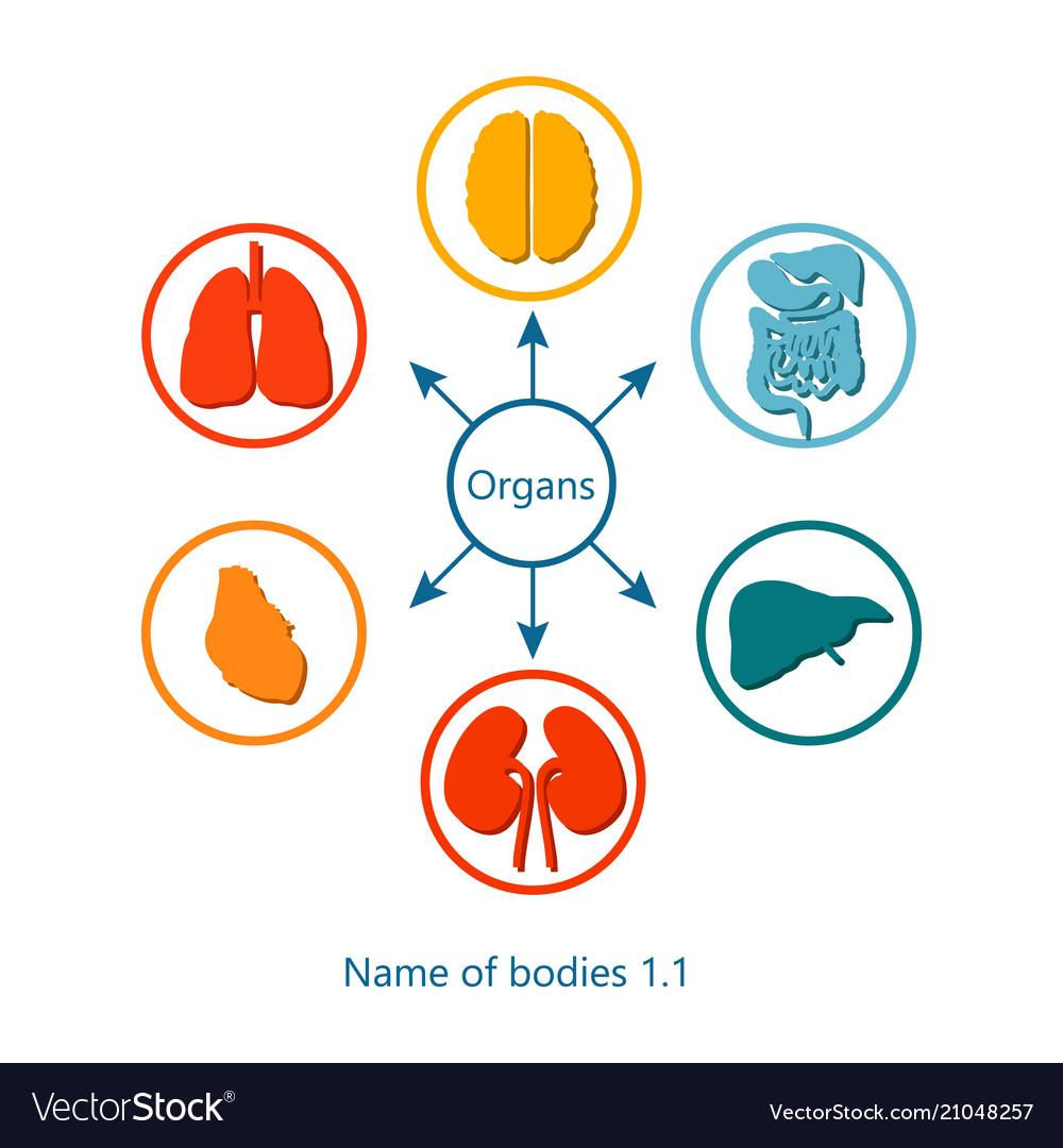 Name of bodies and organs Royalty Free Vector Image