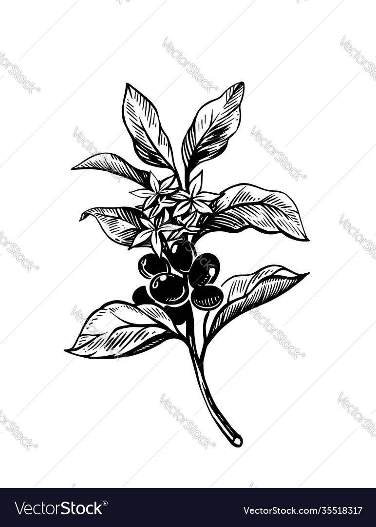 Coffee branch with fruits sketch style