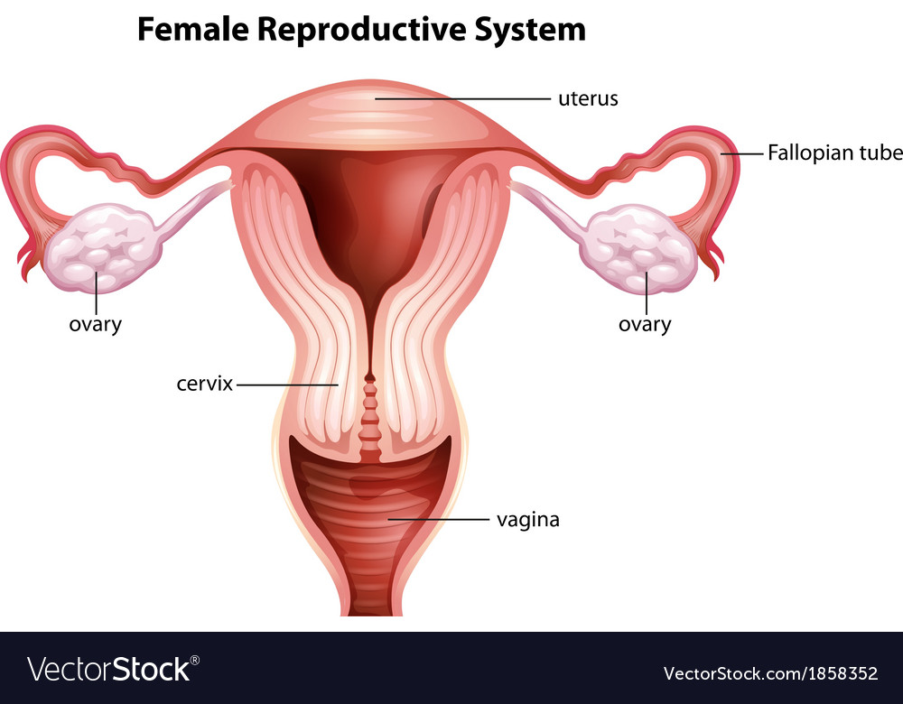Female Reproductive System Royalty Free Vector Image