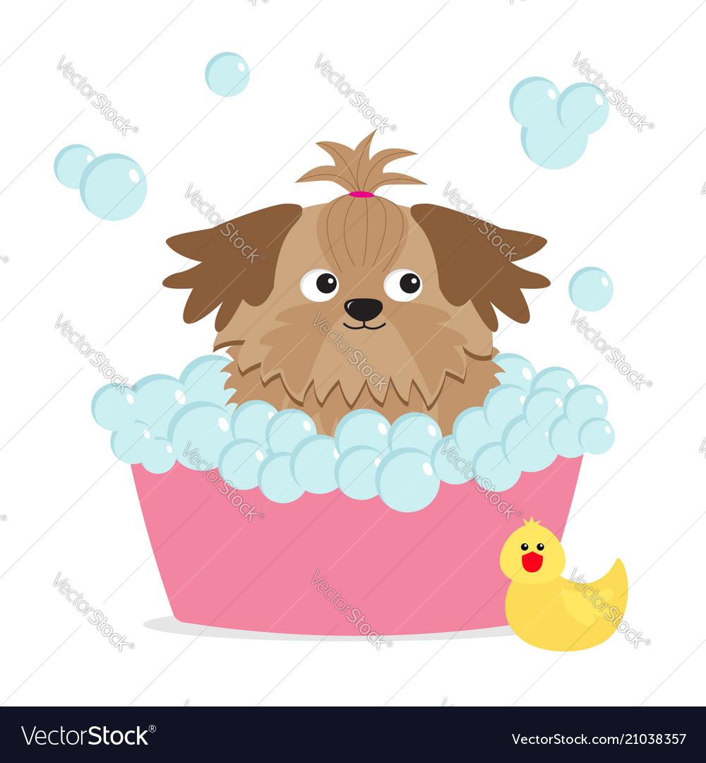 Little glamour tan shih tzu dog taking a bubble