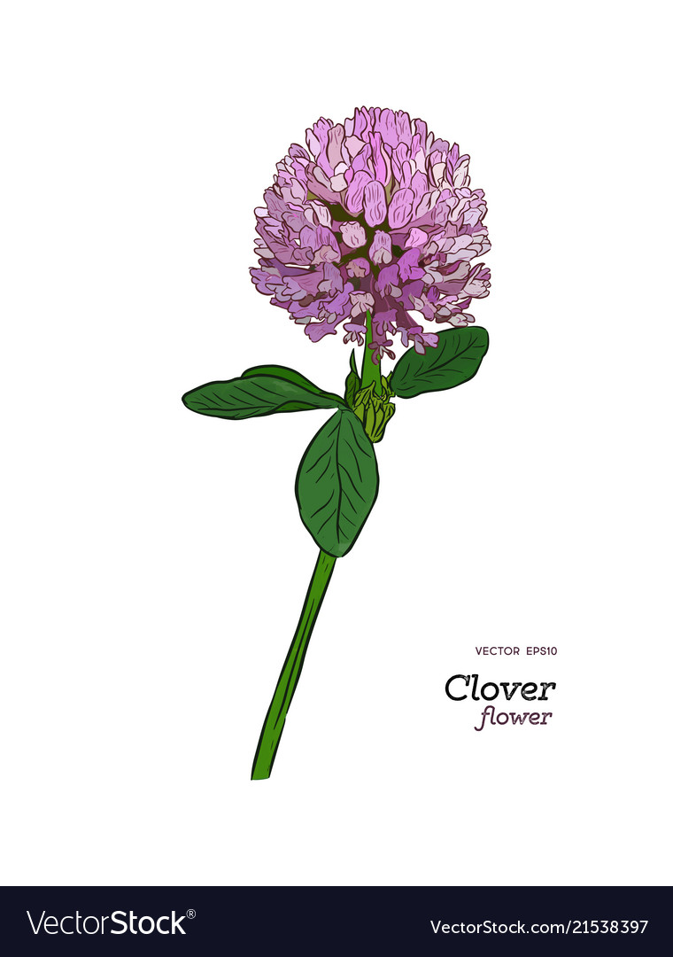 Clover flower drawing set isolated wild plant