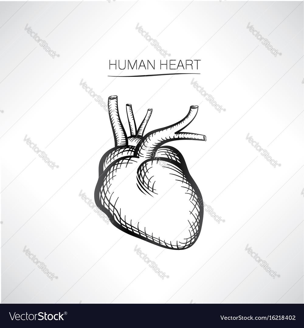 Human heart sign isolated internal organ anatomy