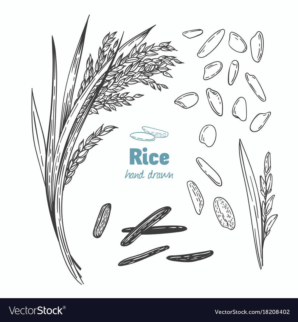 Rice hand drawn
