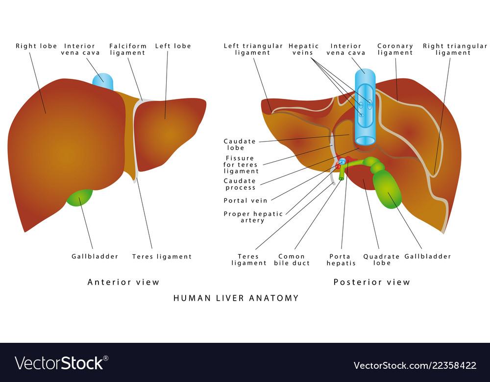 Liver Anatomy Royalty Free Vector Image Vectorstock
