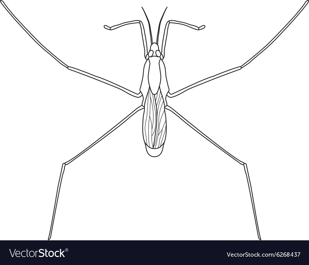 Common water strider Gerridae Sketch of water Vector Image