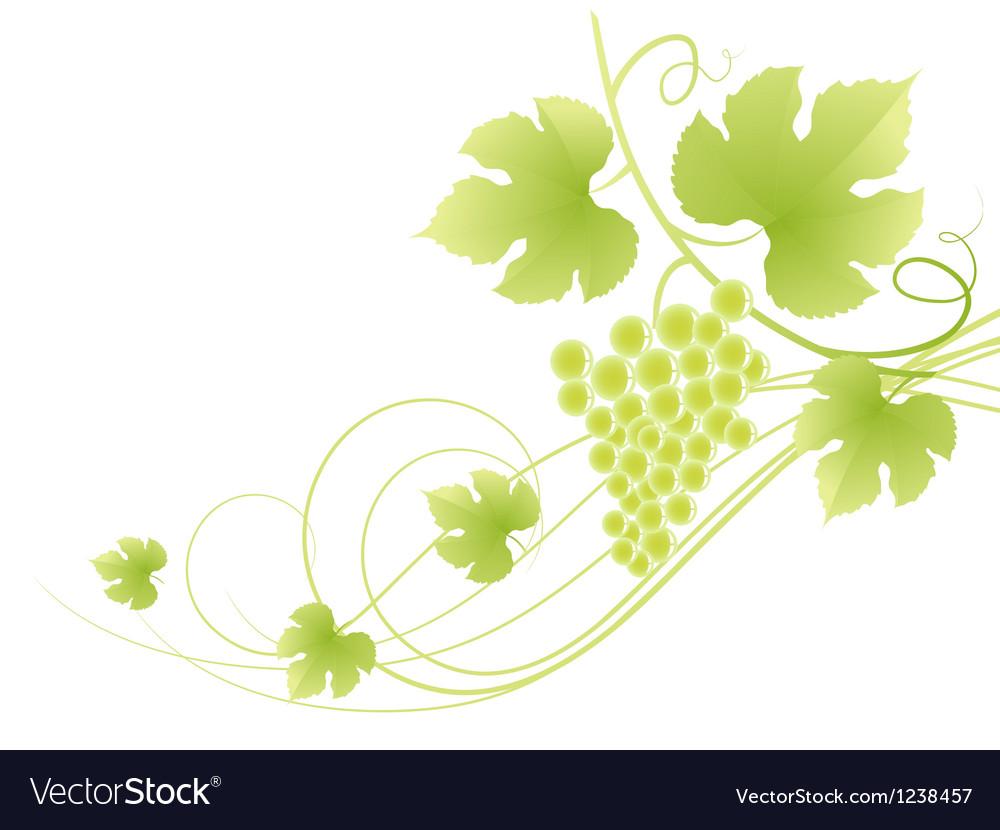 Beautiful green grape vine background vector image