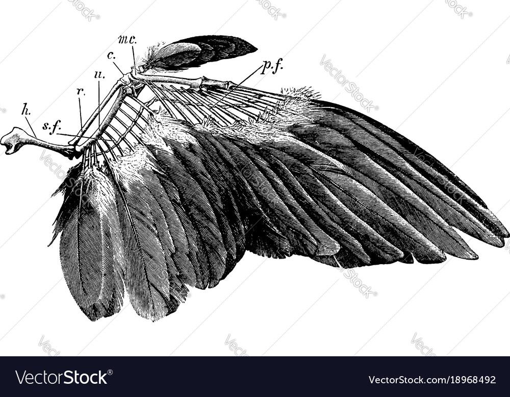 bird wings anatomy - 1024×579
