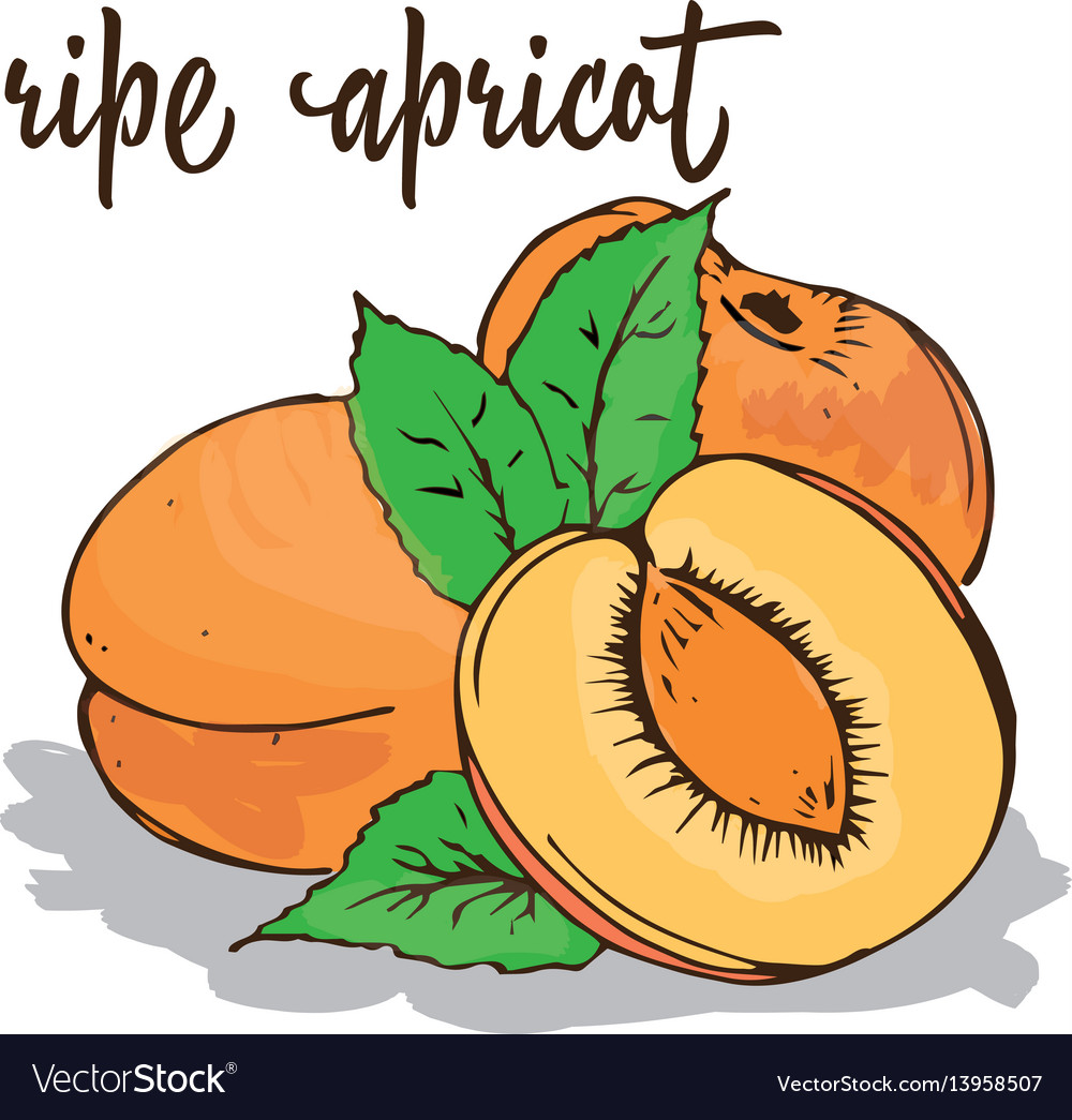 Apricot is hand-painted