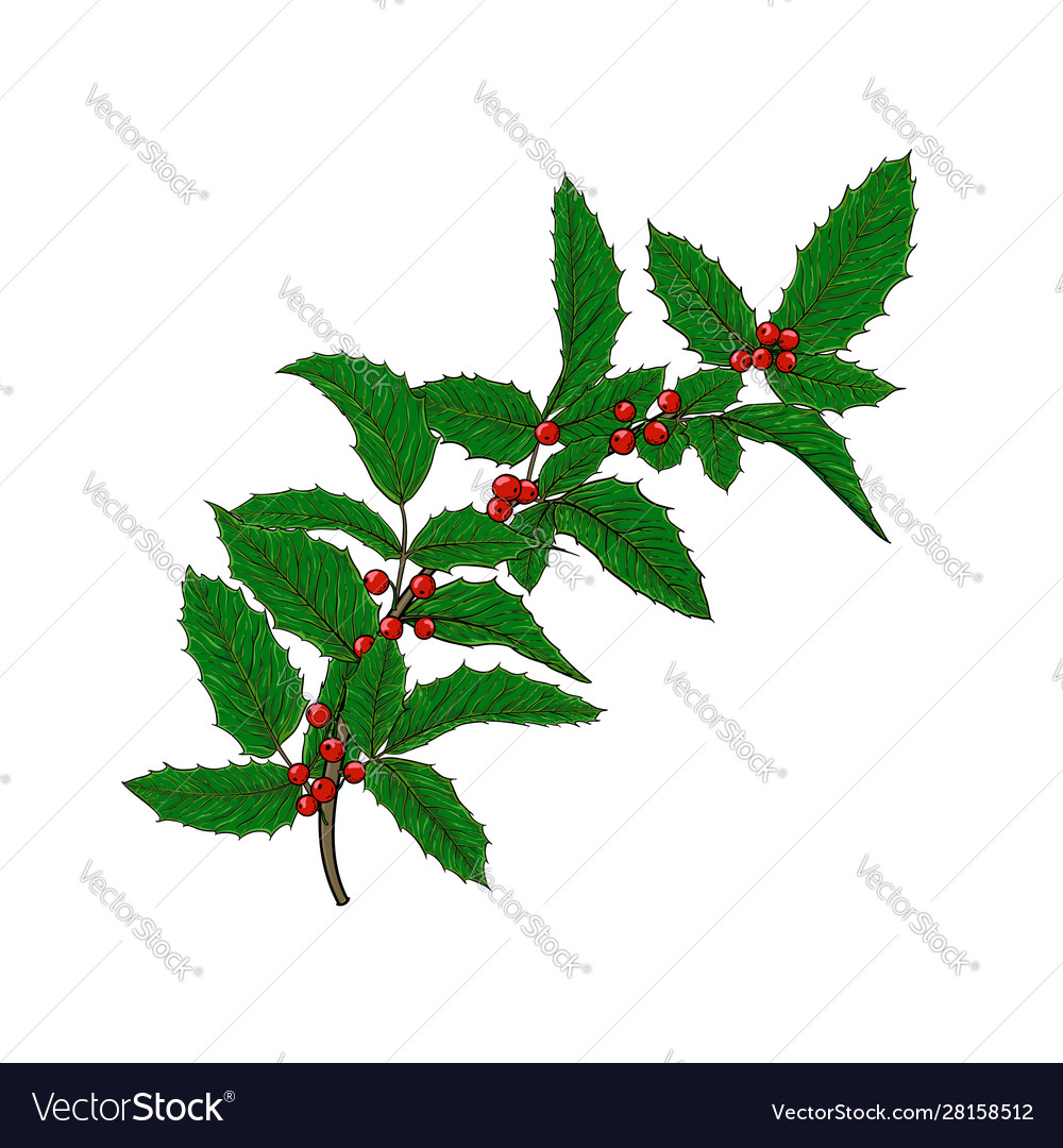 Holly ilex branch with berry and leaves on white