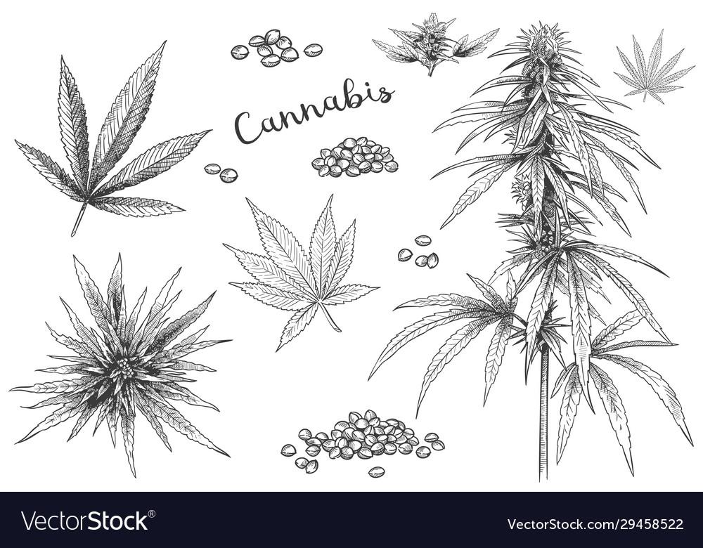 Cannabis hand drawn hemp seeds leaf sketch and