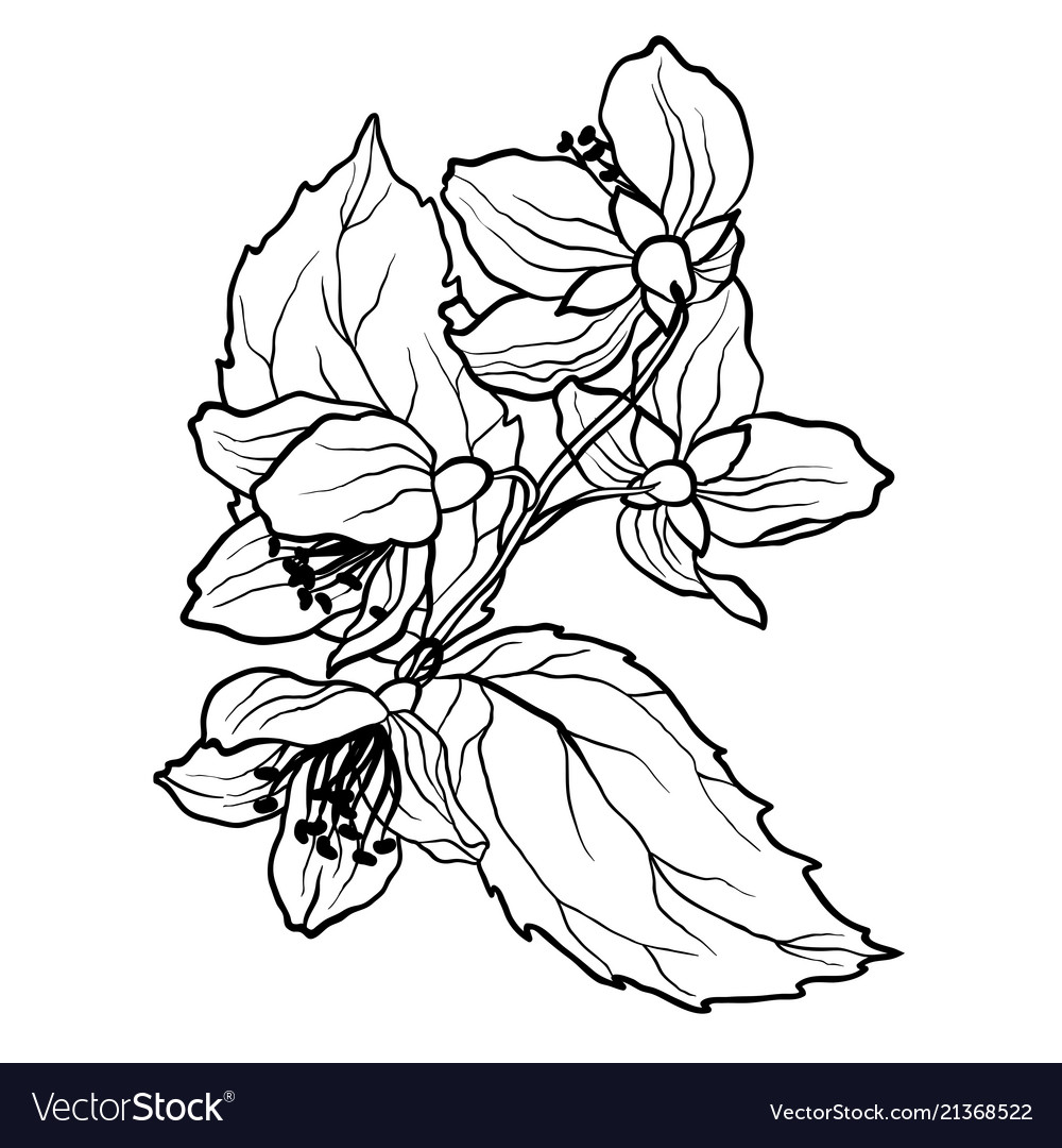 Coloring page with jasmine branch in vcector
